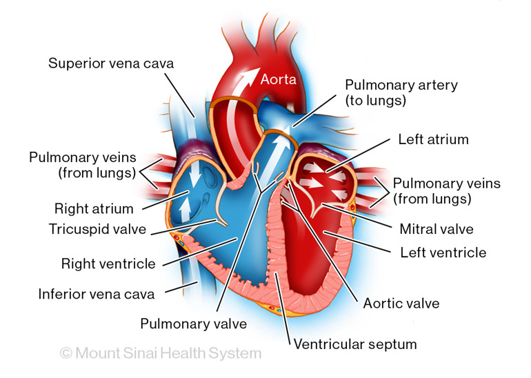 The main parts of a fully formed heart illustration
